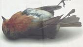 Kampaň s mŕtvym vtákom upozorňuje na masaker v Stredomorí (FOTO)